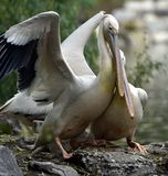 Rosy Pelican imagen de archivo