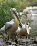 Rosy Pelican fotografie stock libere da diritti