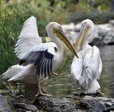 Rosy Pelican immagine stock libera da diritti