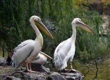 Rosy Pelican foto de archivo