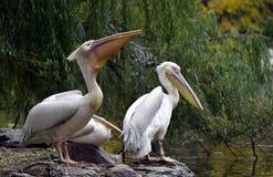 Rosy Pelican foto de archivo libre de regalías
