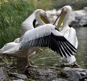Rosy pelican Royalty Free Stock Images
