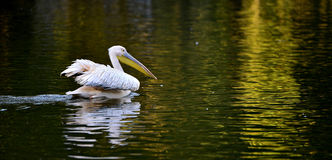 Rosy pelican Royalty Free Stock Photo
