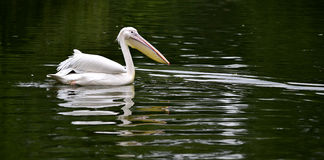 Rosy pelican Royalty Free Stock Image