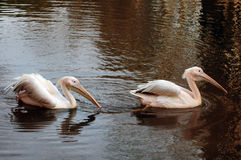 Rosy Pelican couple Royalty Free Stock Photography