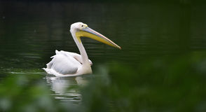 Rosy pelican Royalty Free Stock Photo