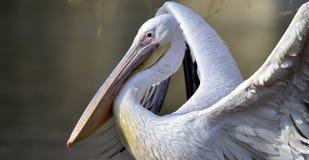 Rosy pelican Stock Photography