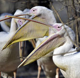 Rosy pelican Stock Image