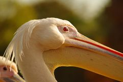 Rosy Pelican at the Luise Park in Mannheim. Germany Stock Image
