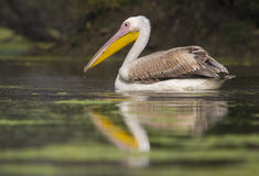 Rosy Pelican. A migratory rosy pelican in bharatpur bird sanctuary, india Stock Photos