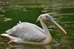 Rosy Pelican, pelecanus onocrotalus, Haidarabad, Telanagana, India immagine stock libera da diritti
