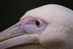 Rosy Pelican Portrait Stock Photos