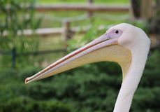Rosy Pelican Portrait Stock Image
