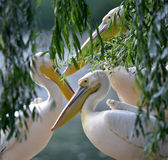 Rosy pelican Royalty Free Stock Photos