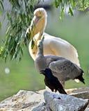 Rosy pelican Stock Photos