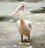 Rosy pelican Royalty Free Stock Photography