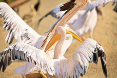 Rosy Pelicans Royalty Free Stock Photos
