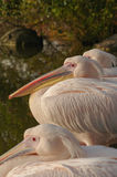 Rosy Pelicans at the Luise Park in Mannheim, Germany Stock Photo
