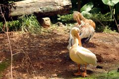 Rosy Pelicans in zoological park, India -15. Rosy pelicans relaxing on the corner of lake in the zoological park in India royalty free stock images