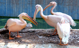 Rosy Pelicans. In the zoological park Royalty Free Stock Photo