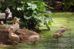 Rosy Pelicans in zoological park, India. Group of rosy pelicans relaxing on the corner of lake in the zoological park in India royalty free stock photos