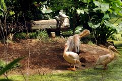 Rosy Pelicans in zoological park, India -6. Group of rosy pelicans relaxing on the corner of lake in the zoological park in India royalty free stock image