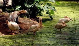 Rosy Pelicans in zoological park, India -8. Group of rosy pelicans relaxing on the corner of lake in the zoological park in India stock photo