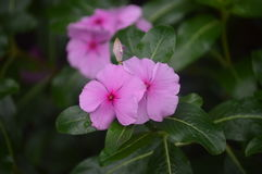 Rosy periwinkle Royalty Free Stock Photography