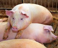 Rosy pig resting on top of another who is sleeping in the pigsty stock images