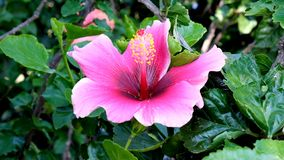 A rosy pink flower of a hibiscus shrub. The pink flower of the hibiscus plant, showing the petals, the stamen with the filament and anther, as well as the style stock images