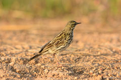 Rosy Pipit (Anthus roseatus) Royalty Free Stock Photo