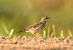 Rosy Pipit (Anthus roseatus) Royalty Free Stock Photography