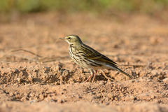 Rosy Pipit (Anthus roseatus) Stock Photos