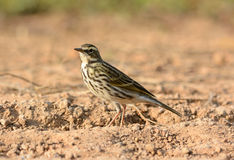 Rosy Pipit (Anthus roseatus) Royalty Free Stock Image