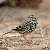 Rosy Pipit Royalty Free Stock Images