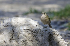 Rosy Pipit. The close-up of a Rosy Pipit stands on stone. Scientific name:Anthus roseatus Stock Photography