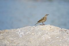 Rosy Pipit stock foto