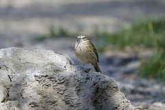 Rosy Pipit. A Rosy Pipitl stands on rock. Scientific name: Anthus roseatus Royalty Free Stock Photography
