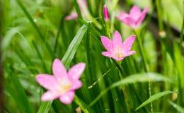 Rosy Rain Lily (Zephyranthes-rosea) met regendalingen royalty-vrije stock foto