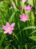 Rosy Rain Lily (Zephyranthes-rosea) met regendalingen stock foto's