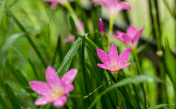 Rosy Rain Lily (Zephyranthes-rosea) met regendalingen stock afbeelding
