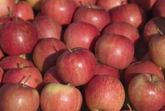 Rosy red apples Royalty Free Stock Photo
