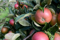 Rosy red apples growing among leaves Royalty Free Stock Photo