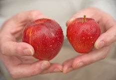 Rosy red apples: size matters. The image of two hands holding in one a large and in the other a small rosy red apple Stock Photography