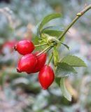 Rosy Red Rosehips. An artsy image of an  flowering stem of rosy red rosehips and its leaves against a silver, green and reddish blurred  background Stock Photos