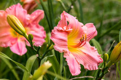Rosy Returns Day Lily. This beautiful pink and yellow wild day lily stands sharp against a lightly softer focused background with contrasting colors.  This Stock Image