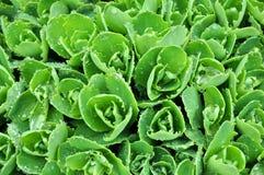 rosy rośliny sukulent fotografia royalty free