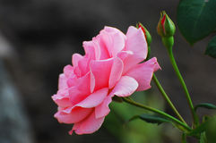 Rosy rose Royalty Free Stock Photos