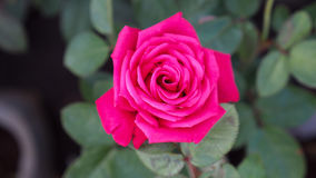 Rosy Rose Flower Blooming Stock Image