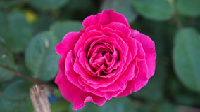Rosy Rose Flower Blooming Stock Images